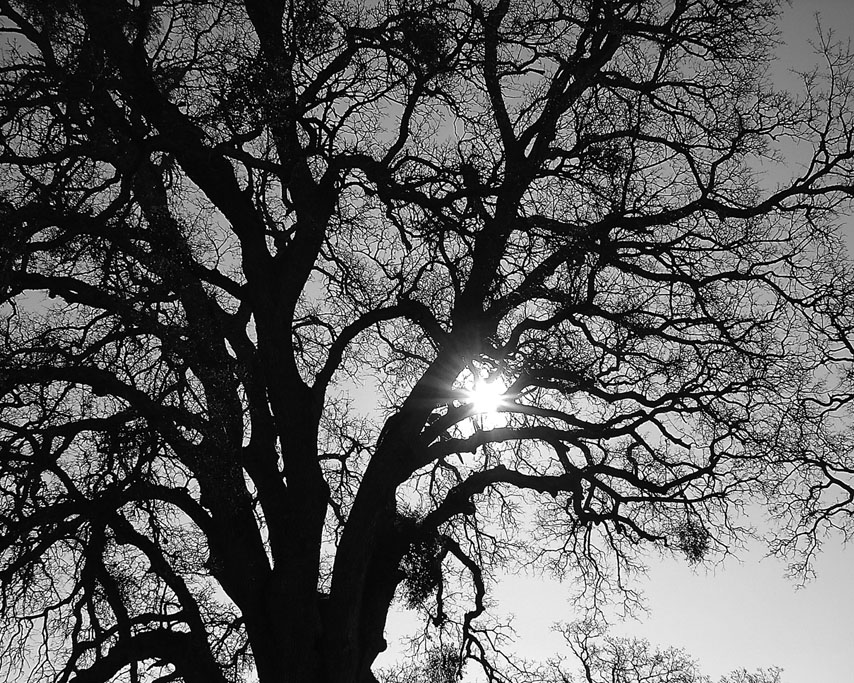 Valley Oak, Butte County, CA, Andrew D. Barron©1/14/09
