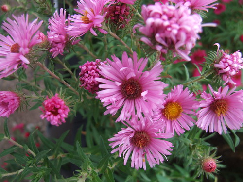 SYMPHYOTRICHUM novae-angliae 'Rosa Sieger'
