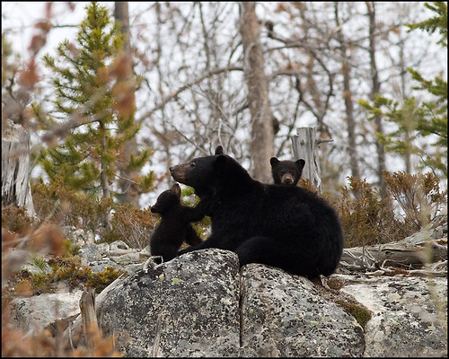 Mommy black bear and her 2 cubs by CampX