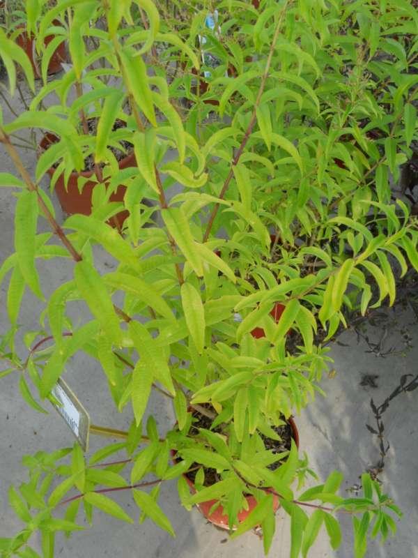 Salvia leucantha v 1