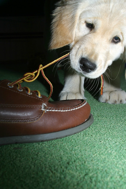 Naughty Puppy Golden Retriever Chewing Shoes