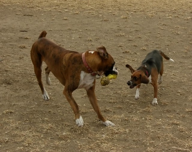 Beagle And Boxer