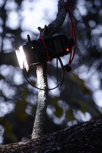 Strobe in a Tree