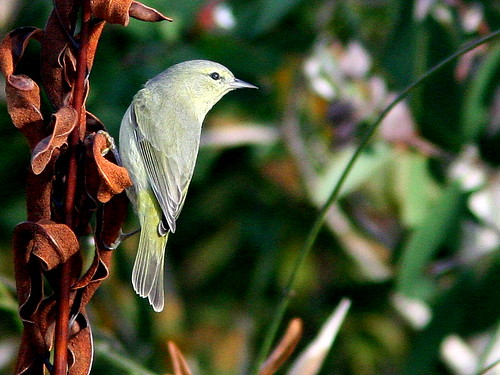Orange-crowned Warbler 20101231