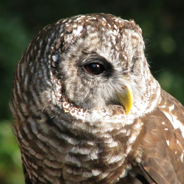 Small Owl Sounds Like Cat Illinois