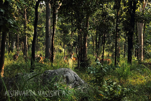 morning sunlight india male green beautiful forest stag silent watching deer lonely curious exquisite grazing eager sambar pench madhyapradesh 2011 cameracupid