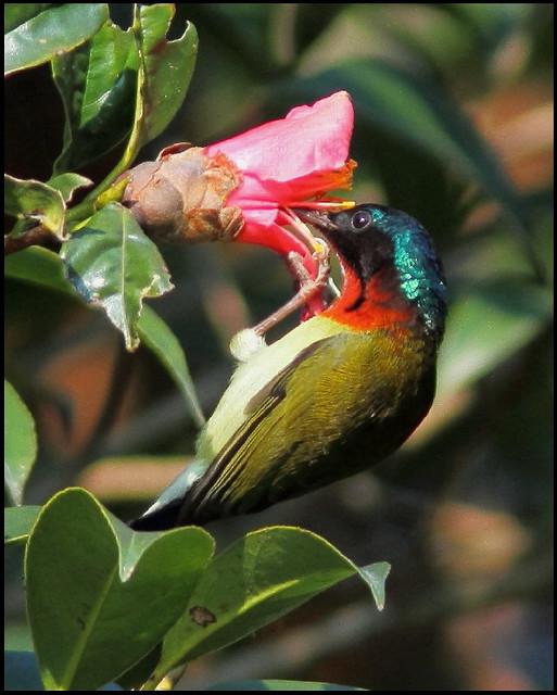 Aethopyga christinae 叉尾太陽鳥 2