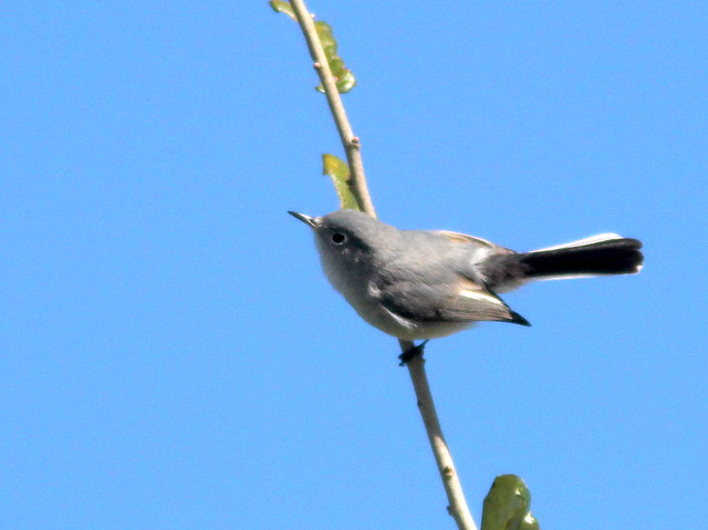 Blue-gray Gnatcatcher 20110123