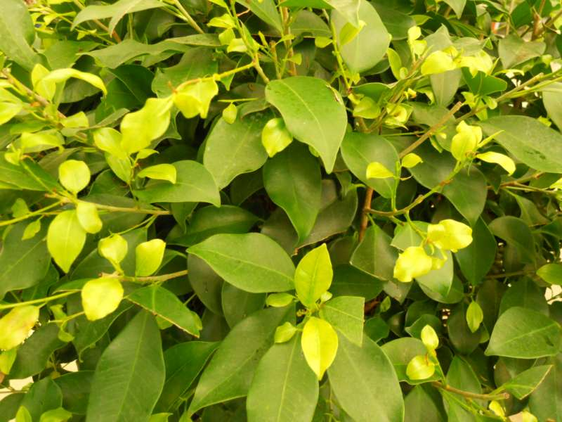 Ficus nitida 3