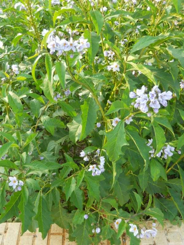 Solanum jasminoides v 5