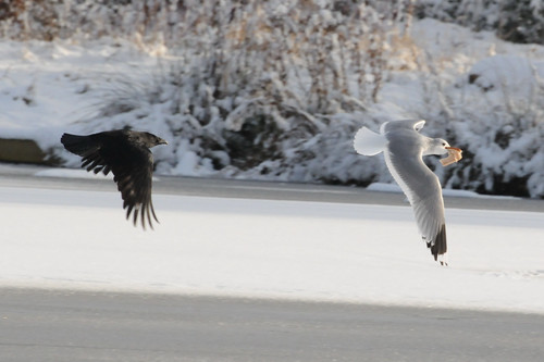 gull chased by crow