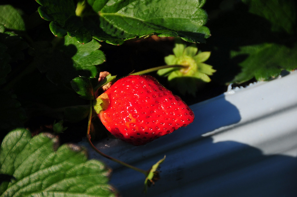 大湖採草莓 @ 吳家