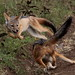 Jackal cubs playing