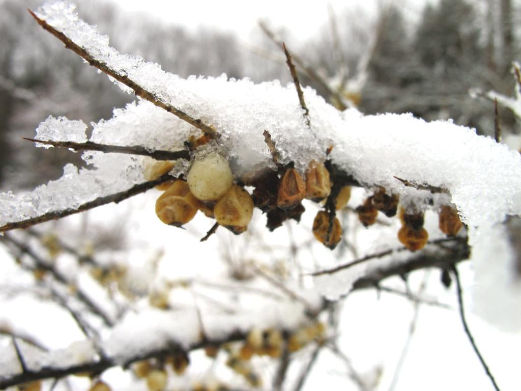 A little more snow.... Sea Buckthorn Berries