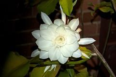 flower, plant, macro photography, flora, close-up, epiphyllum oxypetalum, petal,