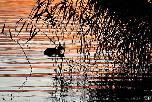 sunset lake bird water birds silhouette reeds wildlife vatten arvika vass glafsfjorden siluett värmland solnedgång fåglar sjö fågel