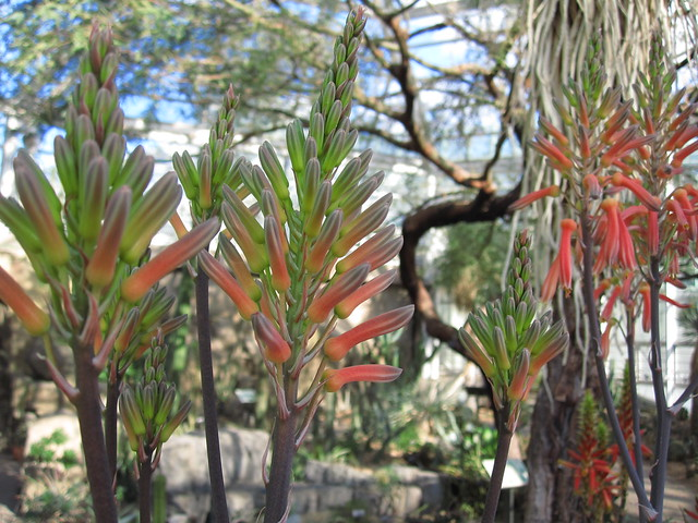 Kleinaalwyn (Aloe mudenensis) blooms in the Desert Pavilion. Photo by Rebecca Bullene.