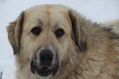 dog breed, animal, dog, anatolian shepherd dog, carnivoran,