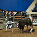 Salem Rodeo Bull Rider Gets Stomped