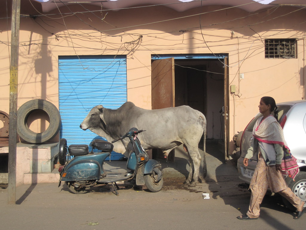 Cow In Street India