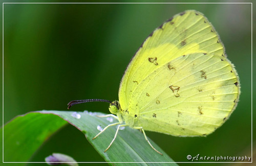 Three-Spot Grass Yellow (Eurema blanda)