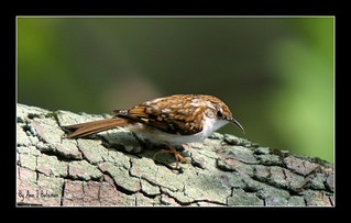 Tree Creeper on Tree!