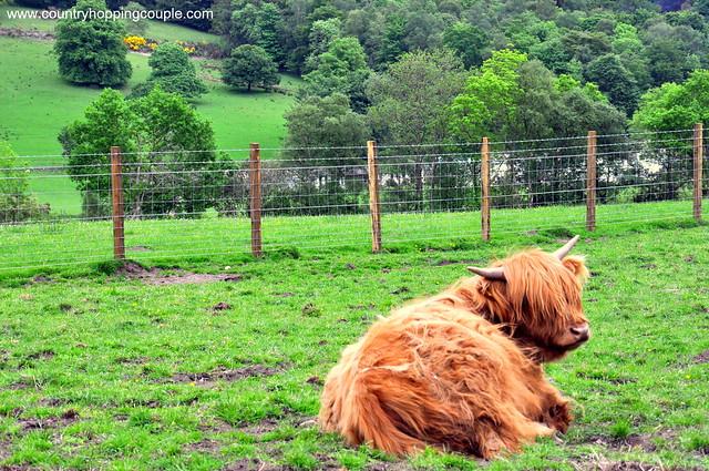 Highland Cow Honey Scotland