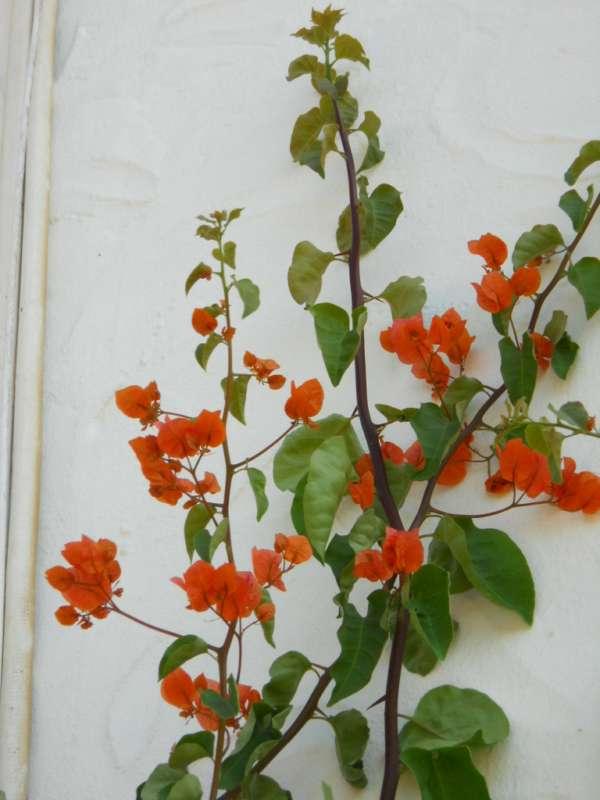 Bougainvillea hybrida 'Mrs. Louis Waltham' v 2