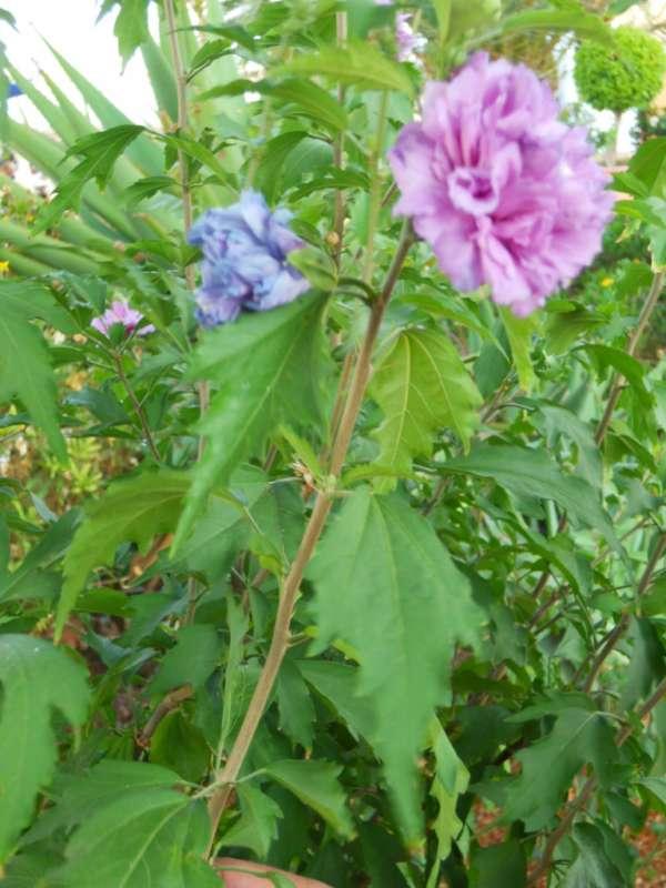 Hibiscus syriacus v 5