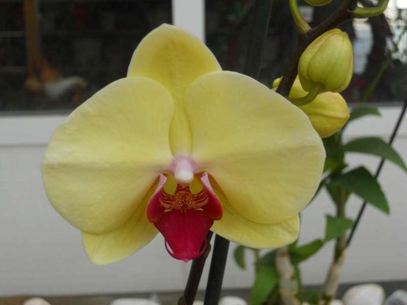 Phalaenopsis x 'Sogo Diana'