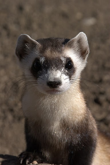 Black Footed Ferret And Prairie Dog Genetics Gameedmodo