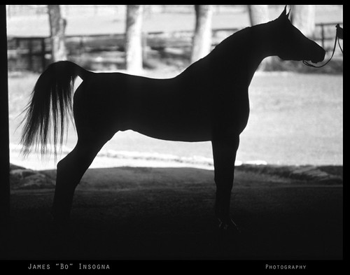 Arabian Horse Silhouette Black and White Print by Striking Photography by Bo