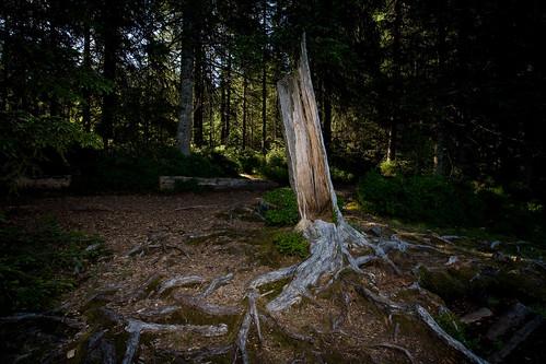 misty fog sunrise switzerland twilight swiss foggy roots pines jura struckbylightning etangdelagruère
