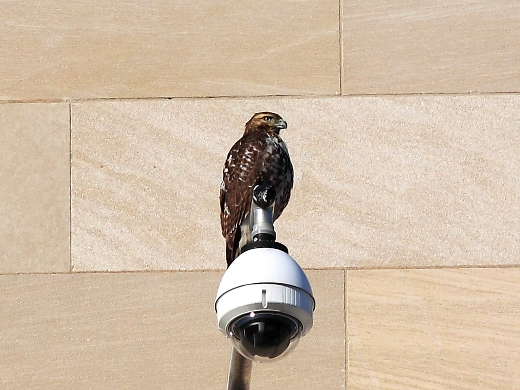 Red-tailed Hawk at FTC Apex Building