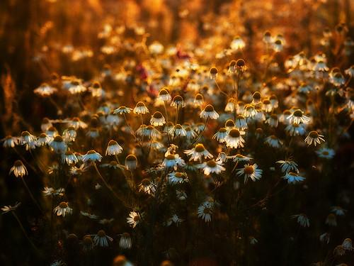 sunset summer flower olympus daisy
