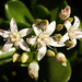 jade plant - Photo (c) .Bambo., some rights reserved (CC BY-NC-SA)