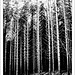 The Black forest by ccgd