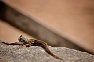 Busua Beach - Lizard