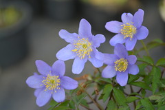 ANEMONE nemorosa 'Good Blue' ex Hazel Kaye