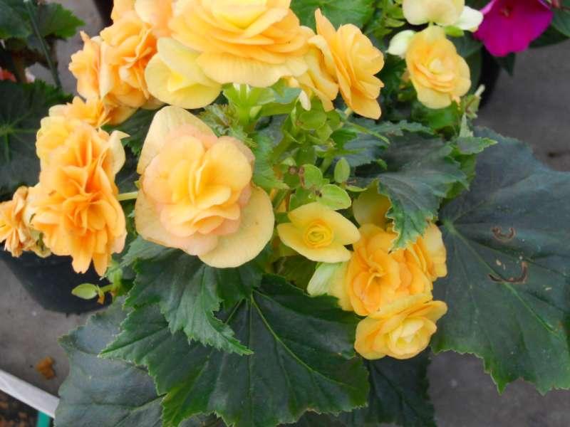 Begonia elatior 3
