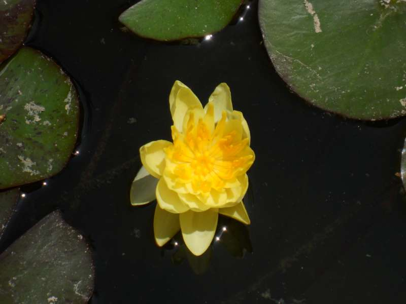 Nymphaea 'Chromatella' 1