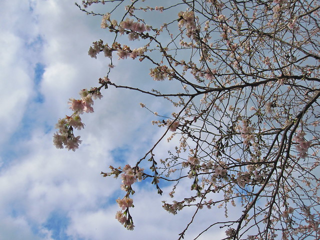 Prunus x subhirtella 'Jugatsu-zakura' full of blossoms in early December. Photo by Rebecca Bullene.