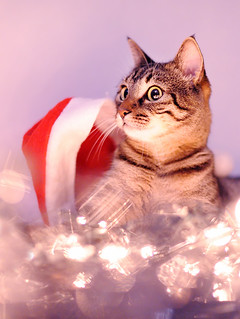MisKet-Cat with Christmas Lights