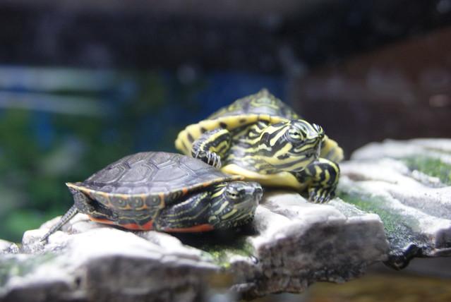 Cute Turtle Belly Rings