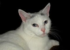 turkish van(0.0), peterbald(0.0), khao manee(0.0), european shorthair(0.0), oriental shorthair(0.0), tonkinese(0.0), balinese(0.0), manx(0.0), russian blue(0.0), nose(1.0), animal(1.0), small to medium-sized cats(1.0), pet(1.0), mammal(1.0), burmilla(1.0), turkish angora(1.0), javanese(1.0), cat(1.0), whiskers(1.0), domestic short-haired cat(1.0),