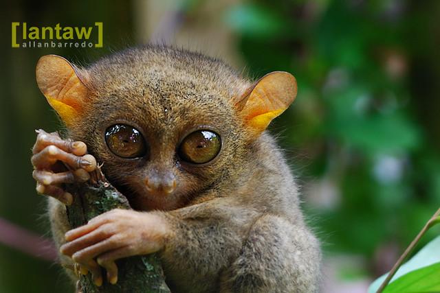 Tarsier: Small monkey