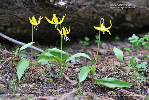 Yellow Avalanche Lily, Glacier Lily - Erythronium grandiflorum