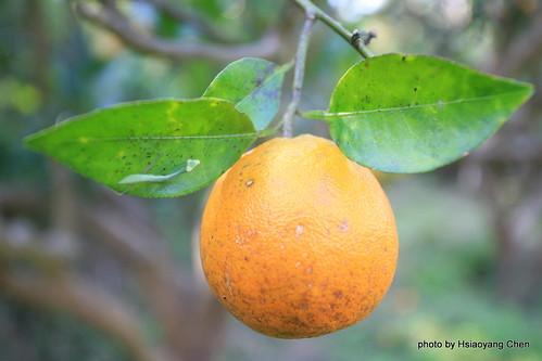 北方野木瓜图片