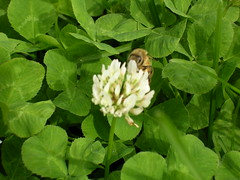 clover(0.0), produce(0.0), annual plant(1.0), trifolieae(1.0), flower(1.0), leaf(1.0), plant(1.0), insect(1.0), herb(1.0), wildflower(1.0), flora(1.0), green(1.0),