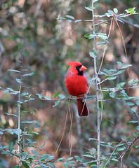 animal, perching bird, branch, nature, fauna, cardinal, emberizidae, bird, wildlife,
